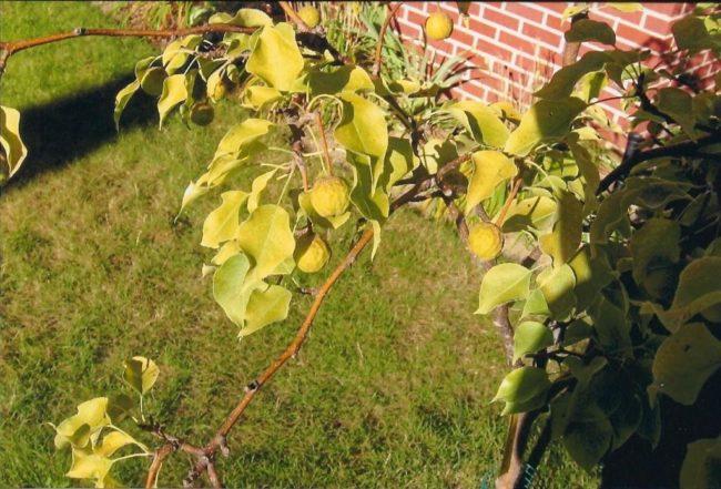 Пожелтение молодых листочков на двухлетнем саженце яблони