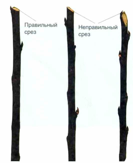 Схема проведения среза ветки яблони над пазушной почкой