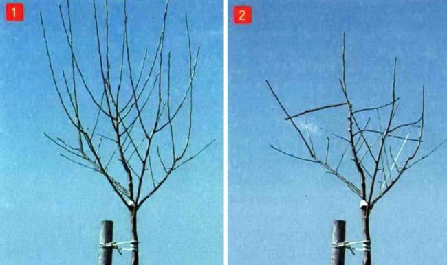 Фото кроны двухлетней яблони до и после формирующей обрезки ранней весной