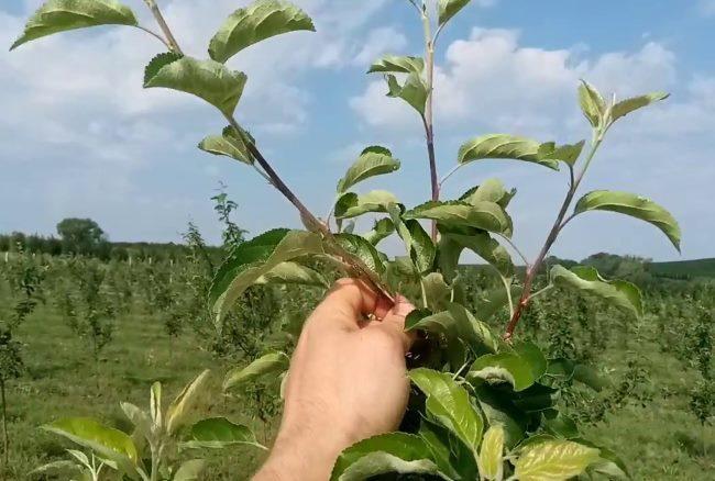 Весенне-летнее прищипывания молодых побегов на деревце яблони