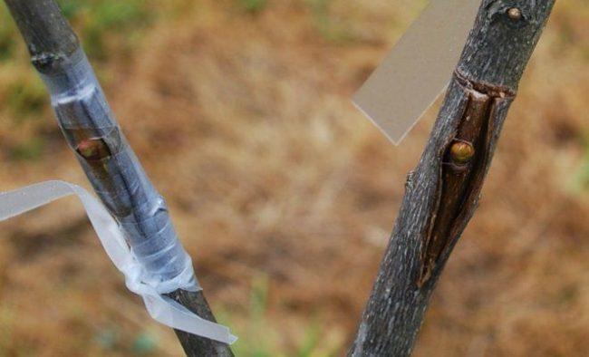 Пример удачно выполненной летней прививки яблони окулировкой