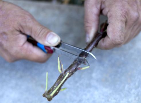 Срез кольца коры на черенке яблони двумя скрепленными между собой ножами
