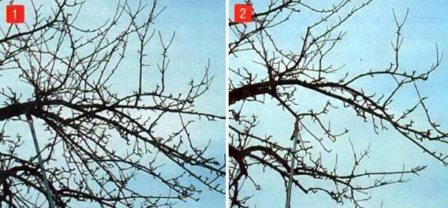 Проведение весенней прореживающей обрезки старой заброшенной яблони