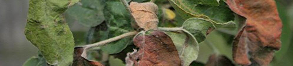 Ржавые пятна на яблоке и серьёзная болезнь листьев