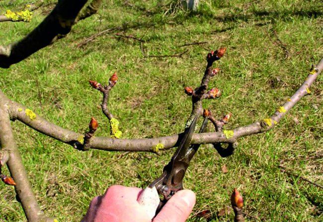 Обрезка ветки яблони с набухающими почками секатором