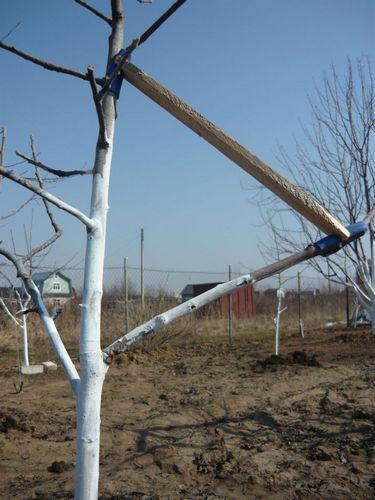 Деревянная распорка между боковой веткой и центральным стволом молодой яблони