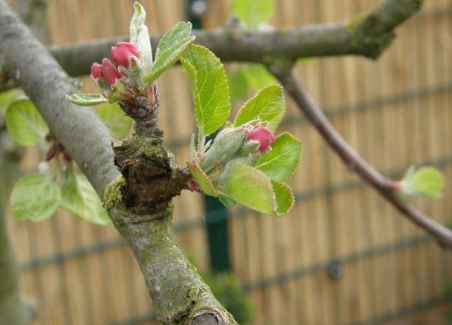 Ветка яблони с распускающимися цветочными бутонами в начале мая