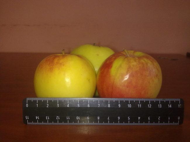Размеры яблок сорта Синап Орловский позднего срока созревания