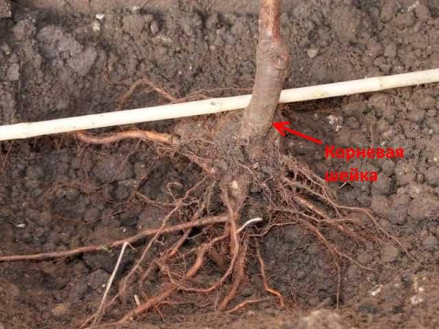 Правильное размещение корневой шейки саженца яблони при посадке