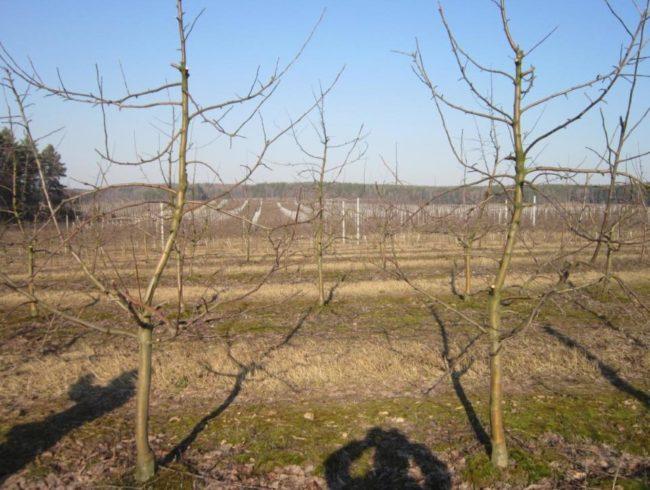 Фото правильно сформированных молодых яблонь с разреженно-ярусной кроной