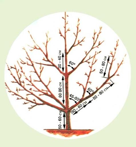 Подробная схема разреженно-ярусной кроны плодовой яблони