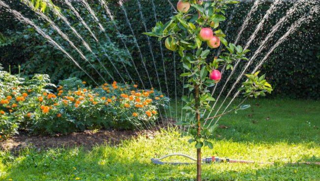 Полив сада и яблони с разбрызгивателя