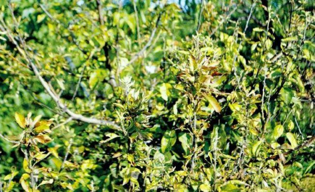 Ветки яблони с признаками розеточности в виде мелких скрученных листьев