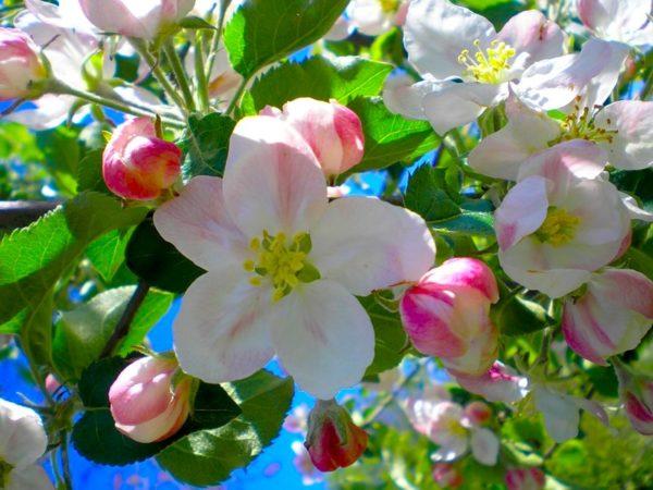 Крупные цветки плодовой яблони с лепестками бледно-розового оттенка