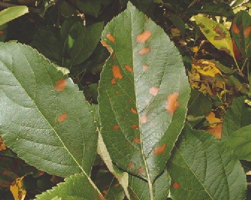 Листья яблони с ржавыми пятнами при заражении дерева альтернариозом