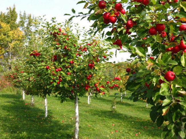 Яблоневый сад с спелыми яблоками на ветках