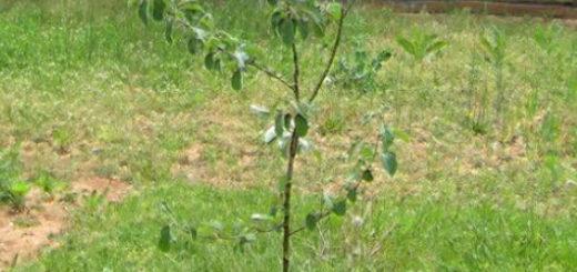 Молодой саженец яблони пустил листву после посадки