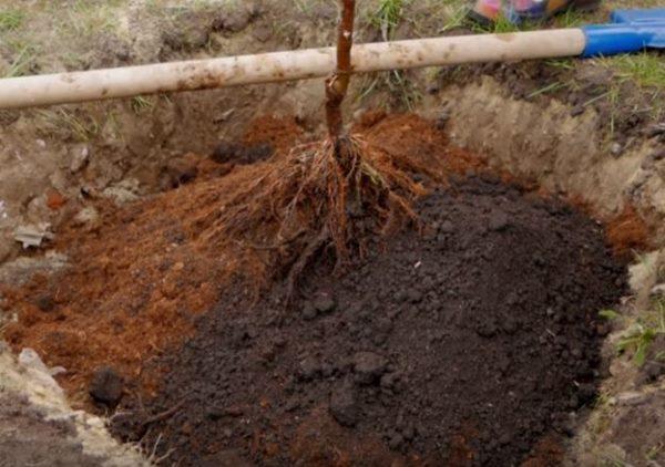 Саженец яблони с расправленными корнями на холмике в посадочной яме