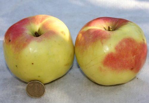 Два крупных яблока сорта Синап Орловский желто-красного цвета