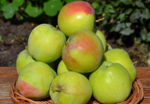 Горка яблок розово-зеленого цвета гибридного сорта Северный Синап