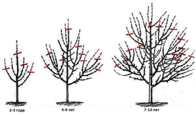 Схема обрезки веток яблоневого дерева в течении 10 лет жизни растения