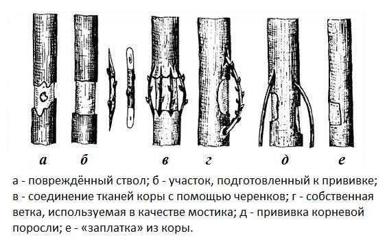 Схемы различных способов прививки яблони мостиком