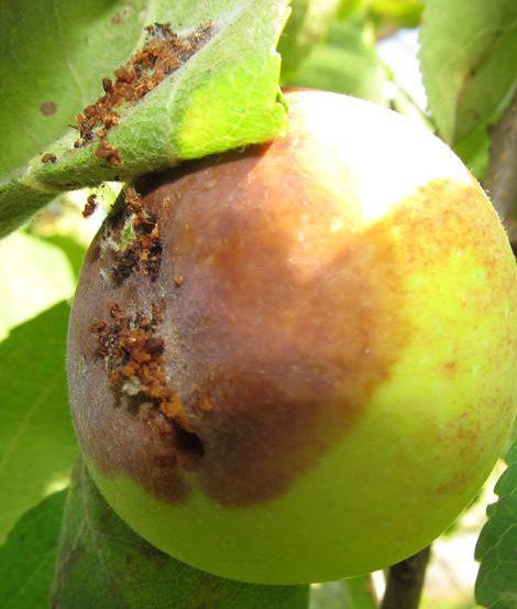 Гнилое яблоко со следами плодожорки под зеленым листиком