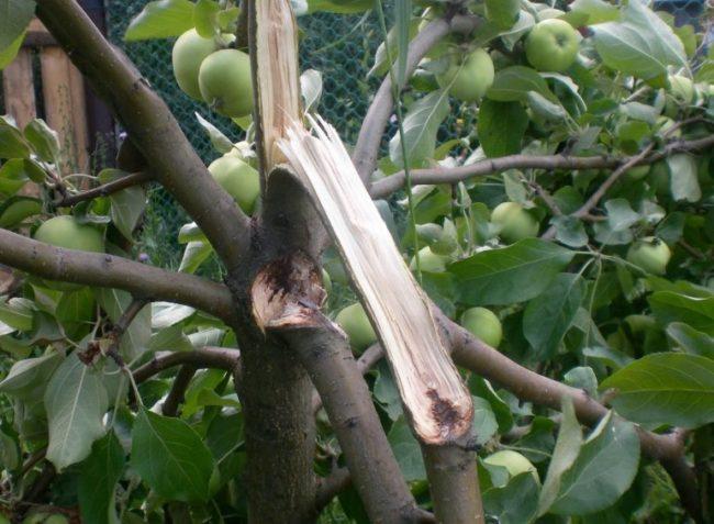 Облом веток яблони вследствие перегруза при ненормированном плодообразовании