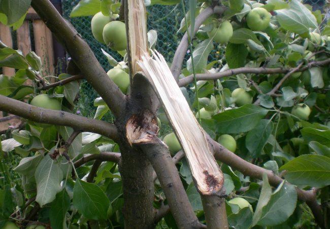 Обламывание растущих под острым углом веток молодой яблони