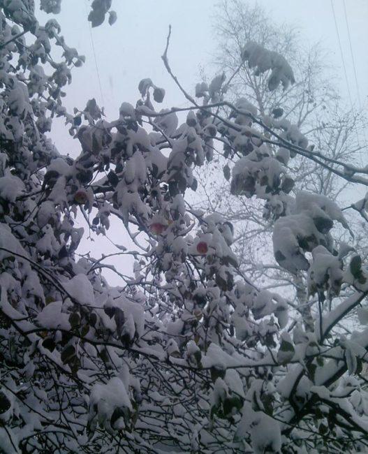 Белый снег на ветках рослого дерева яблони в середине зимы