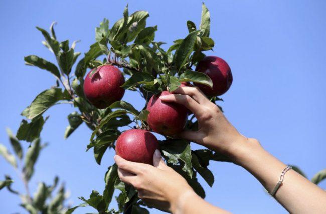 Сбор урожая яблок в плодовом саду Вологодской области