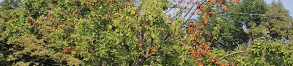Сохнут листья и ветки яблони справа в период плодоношения