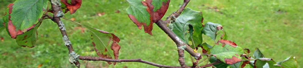 Засохли и заржавели литья на яблоне