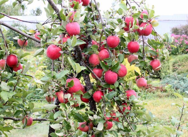 Созревание плодов на яблоне в условиях Средней полосы России