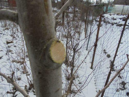 Фото правильного спила ветки молодой яблони на кольцо