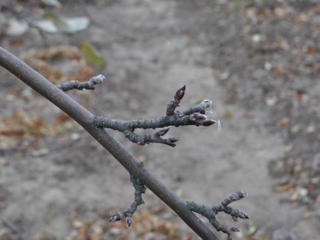 Спящие почки на ветке яблони в середине марта после схода снега