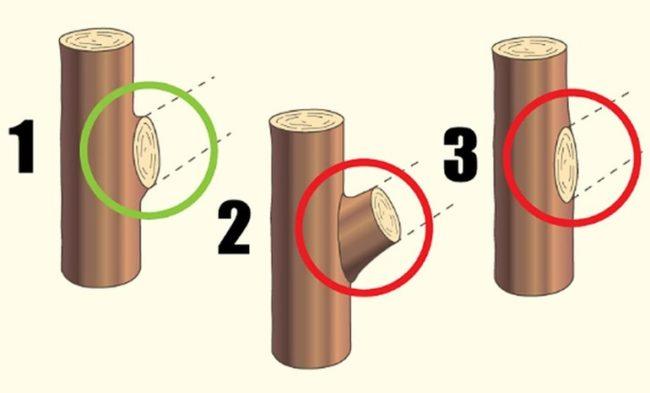Схема правильного среза ветки яблони на кольцо садовым секатором