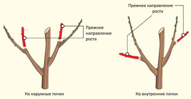 Схемы обрезки веток яблони на внутреннюю и внешнюю почки