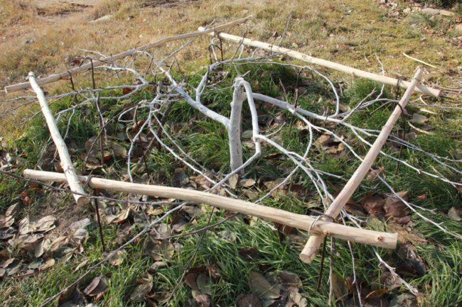 Укрытие стланцевой яблони лапником в саду Западной Сибири