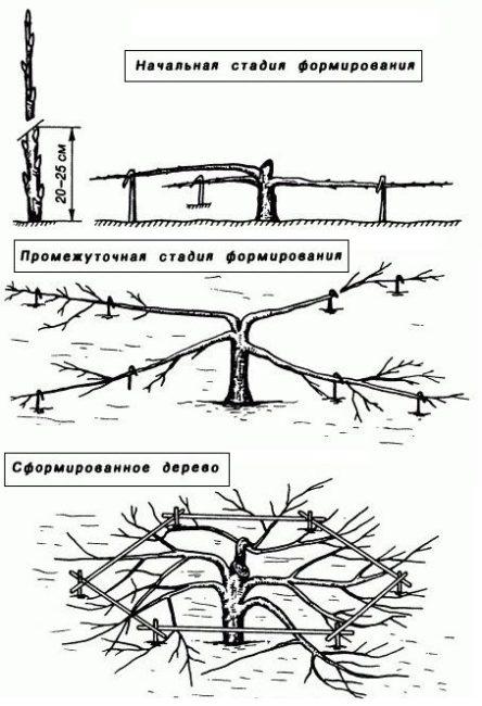 Этапы формирования кроны стланцевой яблони в условиях Сибири