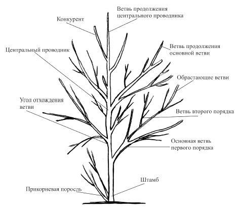 Схема строения плодовой яблони с указанием главных частей