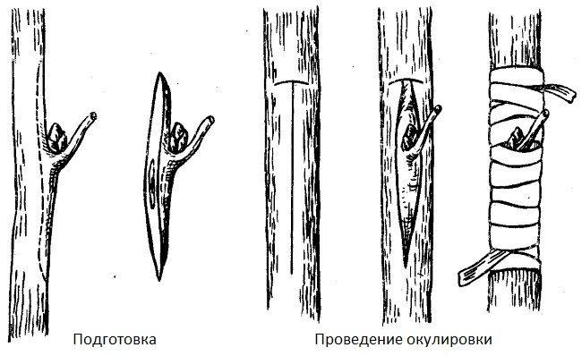 Схема подготовки глазка и проведение летней окулировки на яблоне