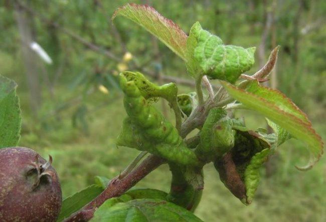 Признаки тли на молодом побеге яблони со скрученными листьями