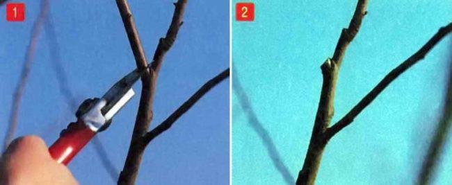 Пример обрезки конкурирующего побега на яблоне ранней весной