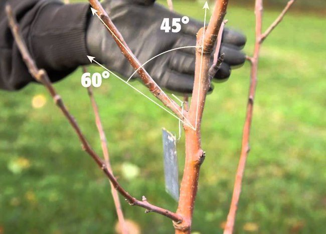 Правильный угол роста боковой ветки на двухлетнем деревце яблони
