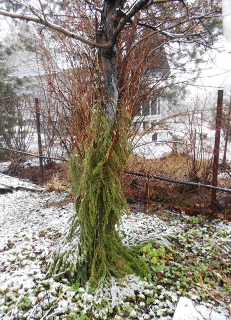 Зимнее укрытие лапником центрального ствола взрослого дерева яблони