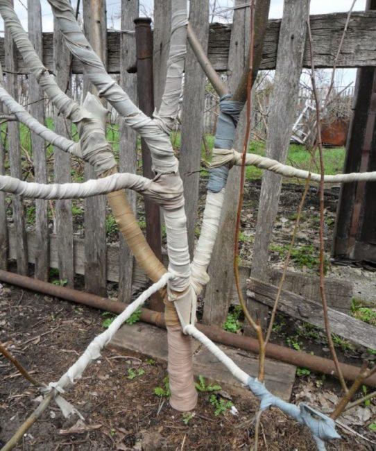 Обматывание ствола и веток яблони тканью перед началом зимнего периода