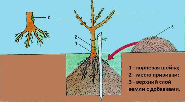 Схема подготовки ямы для саженца яблони при осенней посадке