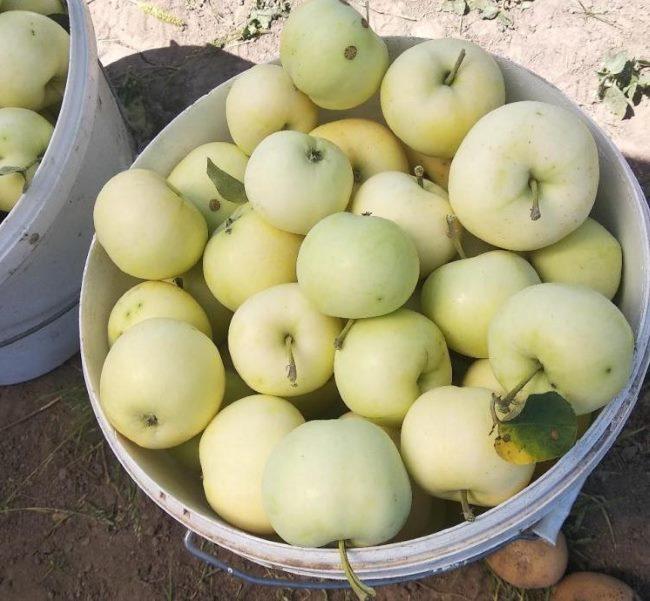 Белое пластиковое ведро с яблоками сорта Белый налив раннего срока созревания