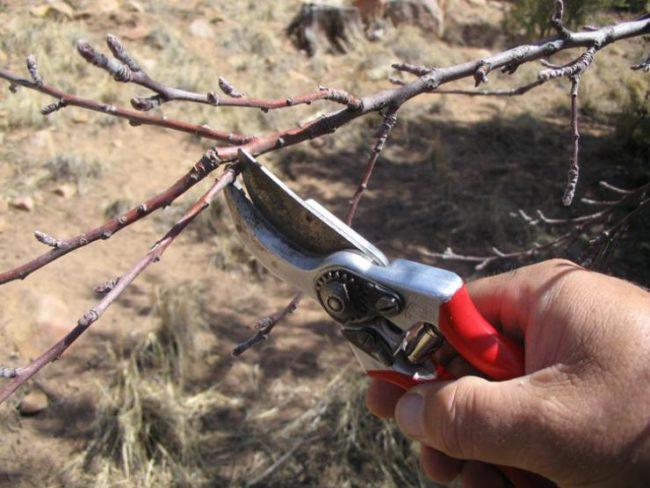 Обрезка остро заточенным садовым секатором ветки яблони в весенний период